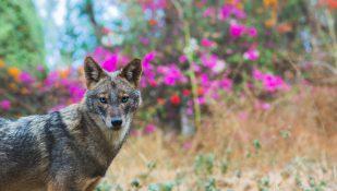 תן. מנשאי הכלבת השכיחים בישראל
