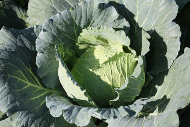 ירקות מצליבים, כרוב. אילוסטרציה