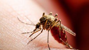 יתוש, מלריה. אילוסטרציה